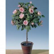 Trandafir in ghiveci 45 cm (h), culoare roz