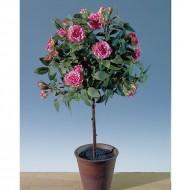 Trandafir in ghiveci 45 cm (h), culoare rosu
