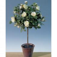 Trandafir in ghiveci 45 cm (h), culoare alb